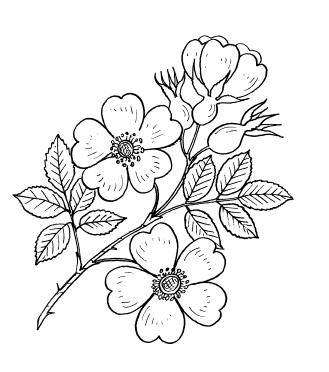 Как нарисовать цветок розового цвета