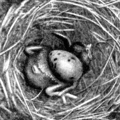 Птенец кукушки выбрасывает яйцо из гнезда.