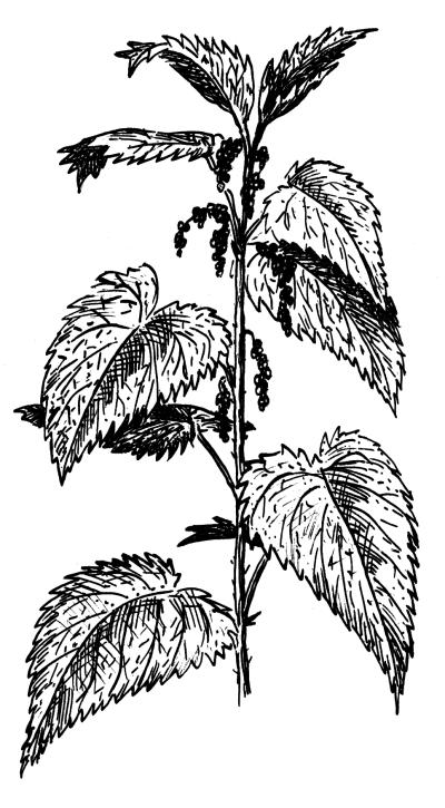 Листья удлинённые, супротивные