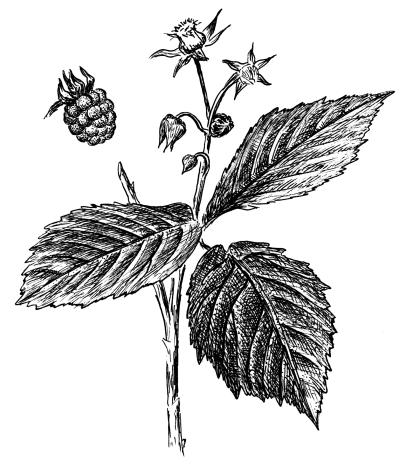 Ремонтантные сорта цветут и