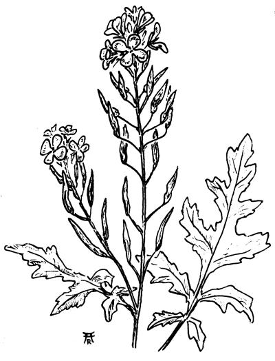 Однолетние травянистые