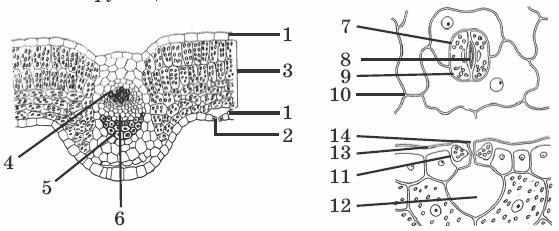 Клеточное строение организмов строение клетки.  Приборы для исследования строения клетки.