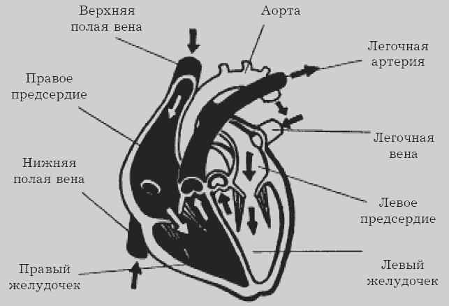 Рис.2. Схема строения сердца.