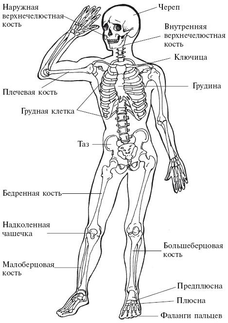 Кости человеческого тела (вид