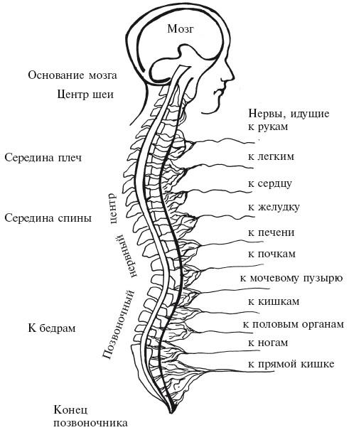 Спинномозговые нервные центры
