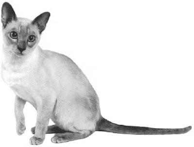 тонкинская порода кошек, тонкинская кошка фото