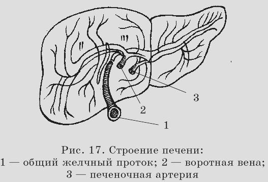 Правый долевой желчный проток