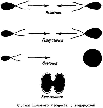 гаметогамии и конъюгации