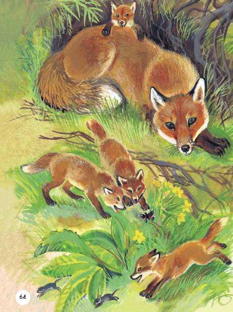 Селятся лисы чаще всего в старых норах барсуков, реже сами роют себе подземные жилища.  Норы у них длинные...