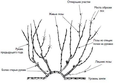 Обрезка винограда 3-летнего и
