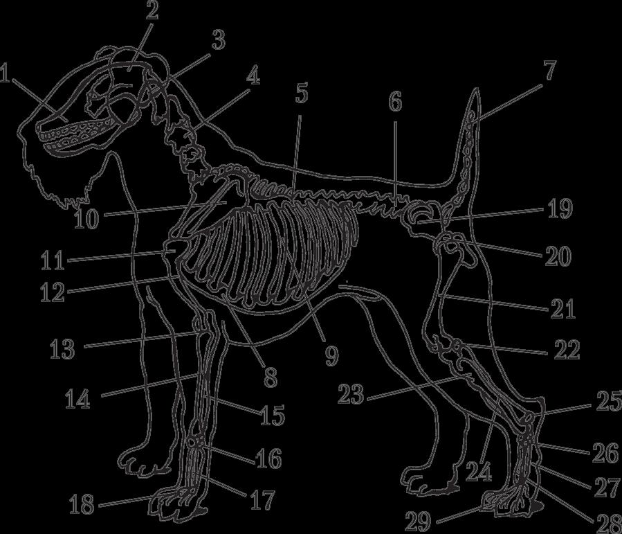 Скелет собаки: 1 – лицевая