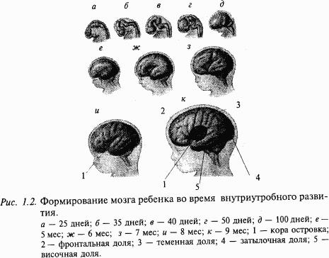Развитие нервной системы человека.