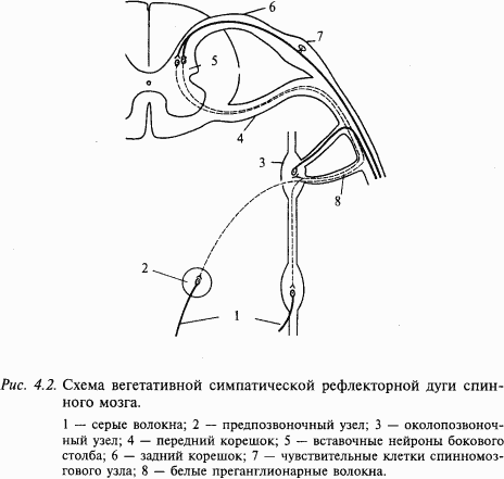 При осуществлении вегетативных рефлексов влияния передаются по соответствующим нервам (симпатическим или...