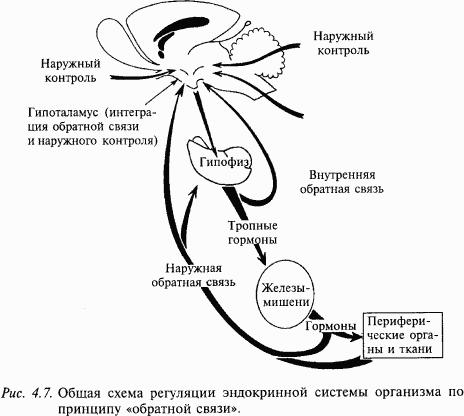 Между нервной и эндокринной системами имеет место функциональная теснейшая взаимозависимость, которая обеспечивается...