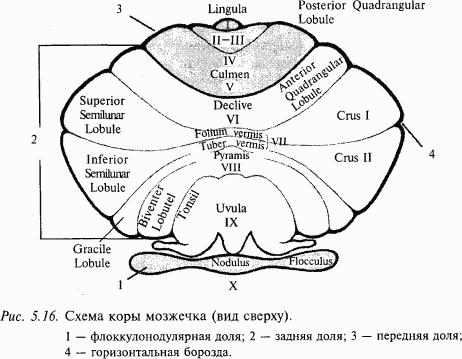 Рис. 2. Схема коры мозжечка (вид сверху).  Согласно этой классификации кора мозжечка делится на три области.