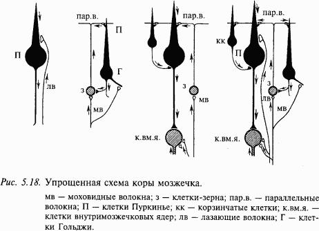 На Рис. 4 представлена упрощенная морфофункциональная схема коры мозжечка (нейроны, оказывающие тормозное действие...