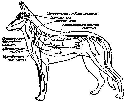 Нервная система (рис. 1) подразделяется на центральную, периферическую и вегетативную.