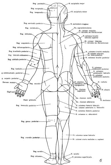 Зоны иннервации кожных нервов: