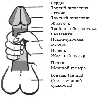 Мужской половой член — Википедия