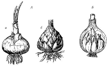 Луковицы: А – простые