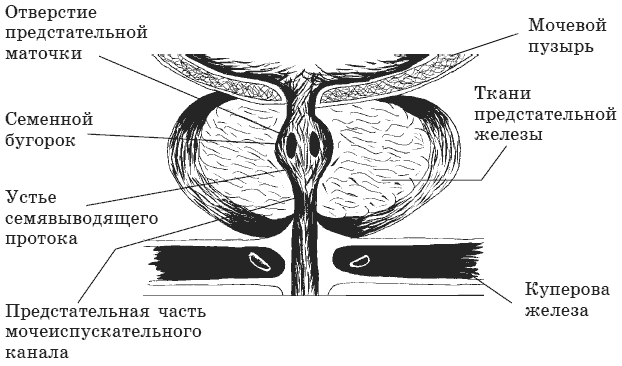 1 – половой член; 2 – яичко;