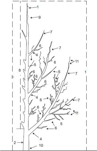 ...ассортимент саженцев, привитых на специально выведенные клоновые подвои, которые размножаются вегетативно.