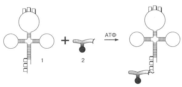 тРНК переносит
