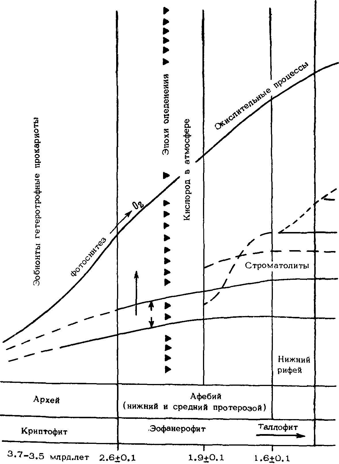 схема поперечного среза семенника крысы