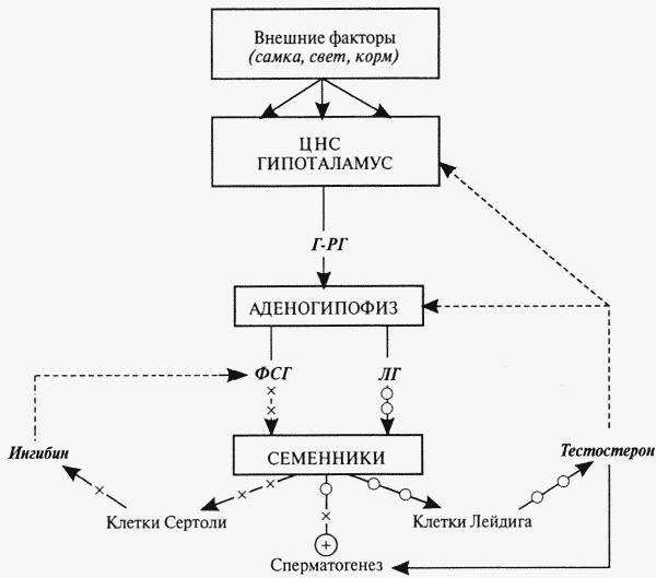 Рис. 9. Схема нейроэндокринной регуляции половых процессов у самцов.
