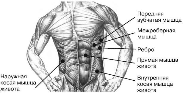 Итак, перед вами мышцы живота