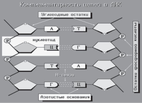 Рис.3. Схема взаимодействия двух комплементарных цепей в молекуле ДНК.  Две полимерные цепи закручены в правильную...
