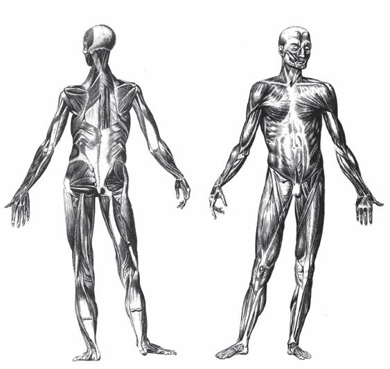 Все мышцы сужаются в месте