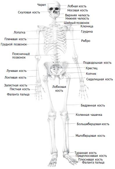 Рис. 1. Скелет человека