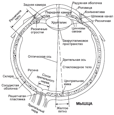 Зрение человека (его зрительный анализатор) состоит из глазного яблока правого и левого глаза, проводящих путей и...