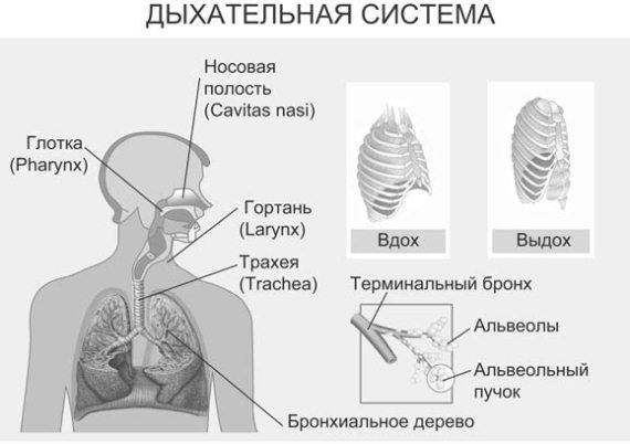 Строение и функции бронхиального дерева.