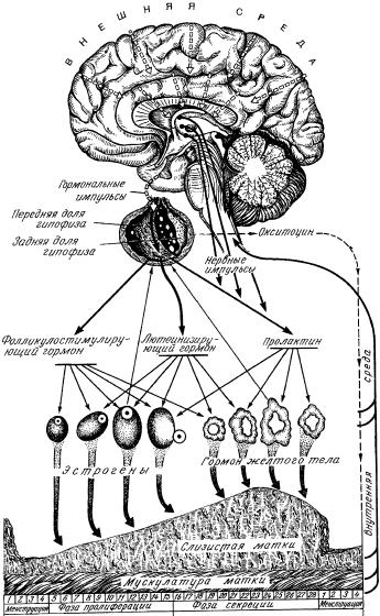 Схема регуляции менструального