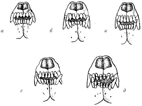 Аркады зубов собаки: J – резцы