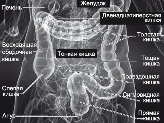 Самый первый и самый короткий отдел толстого кишечника - слепая кишка.  Она находится справа, в подвздошной области.