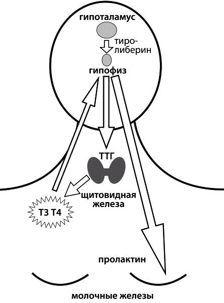 Деятельность щитовидной железы