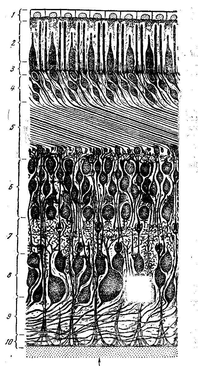 Схема строения сетчатки глаза
