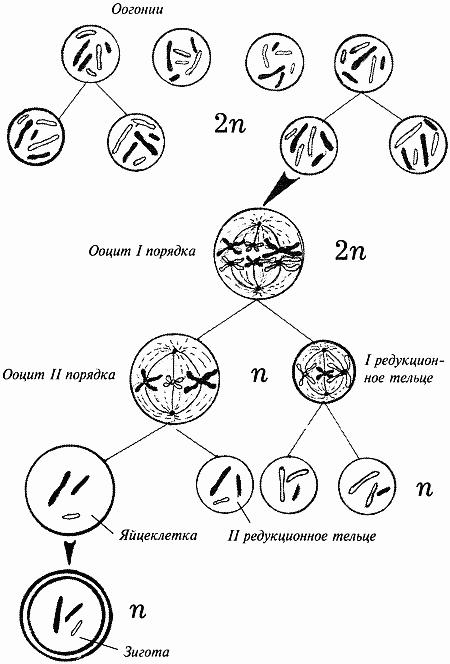 Схема оогенеза