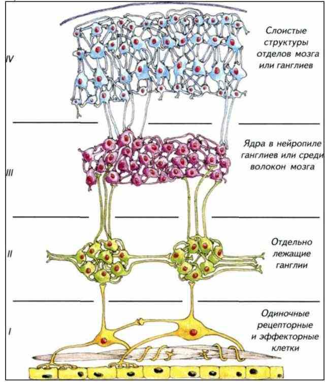 одиночная нервная клетка,