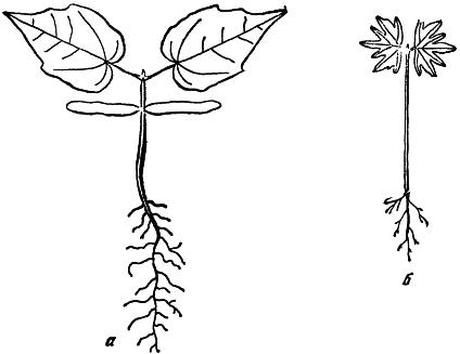 Рис 4 проростки клена остролистного