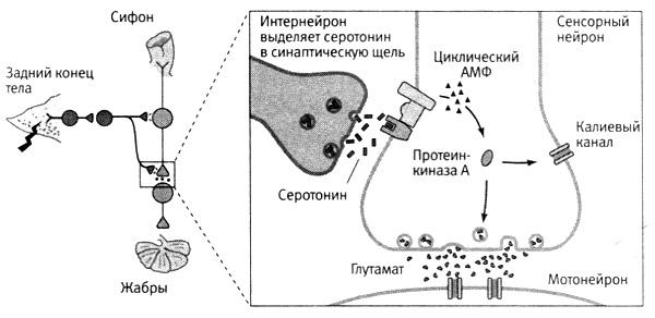 Преодолев синаптическую щель
