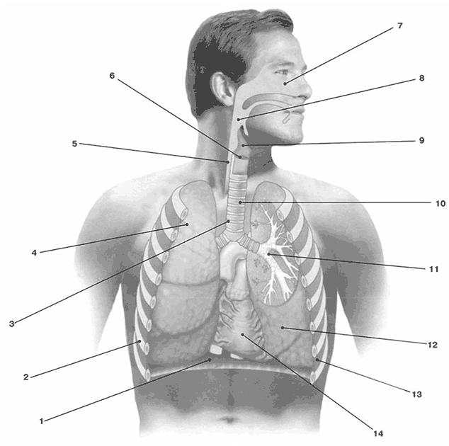 Дыхательная система: 1