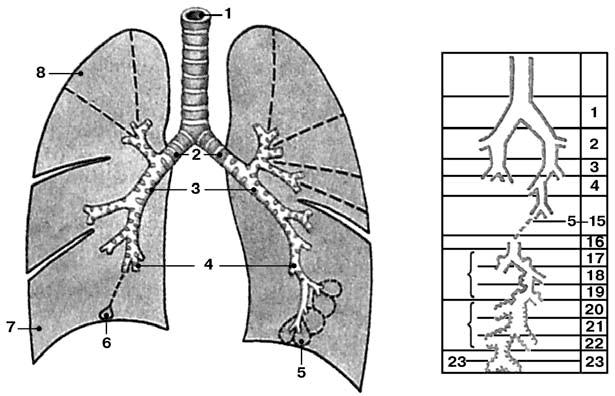легких: а: 1 – трахея;