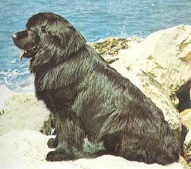 Происхождение.  Существуют противоположные версии происхождения ньюфаундленда.  Одни считают, что эта порода...