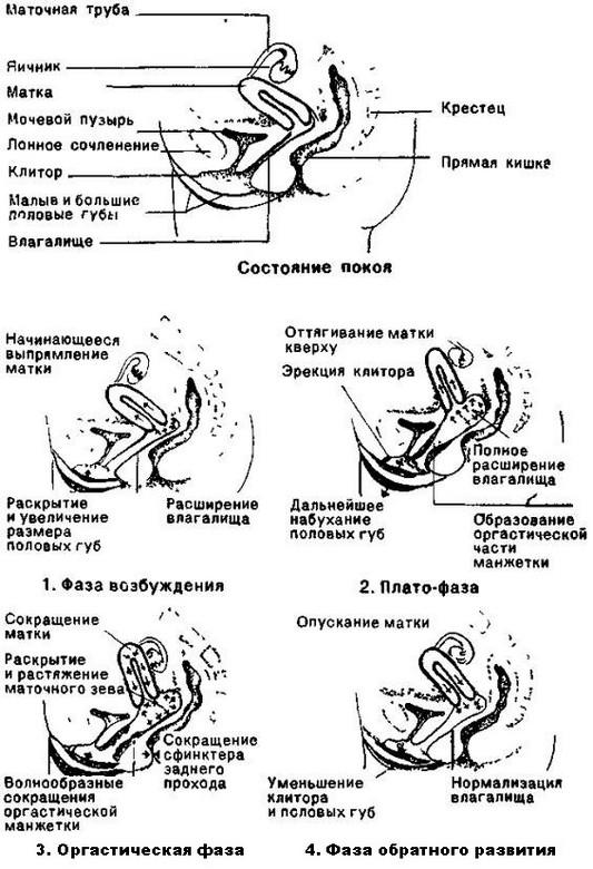 Женские половые органы - med2000.ru