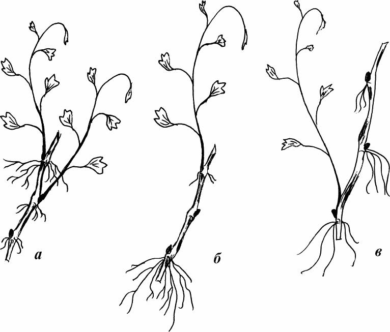 В варианте (в) росток лозы