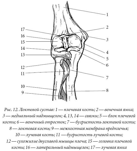 ...плечелучевого и проксимального лучелоктевого суставов.
